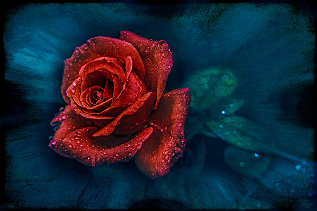 Red-Rose_0469A